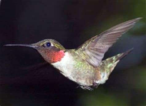 hummingbird migration the great hummingbird voyage