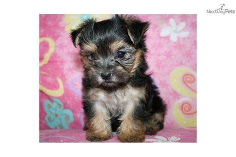 morkie puppies for sale oklahoma morkie yorktese puppy for sale near tulsa oklahoma 0ef656c2 cef1
