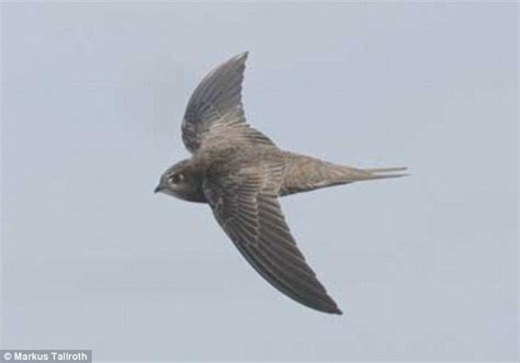 common swifts fly non stop for 10 months every year