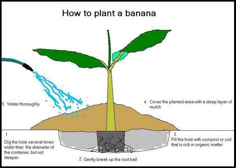 banana plant with bananas yahoo image search results
