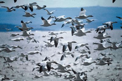 bird migration facts science trek idaho public television