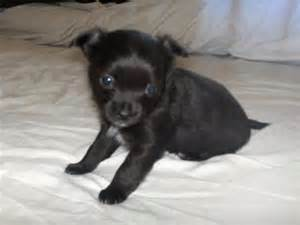 black chihuahua puppies 50 most adorable black chihuahua photos and images