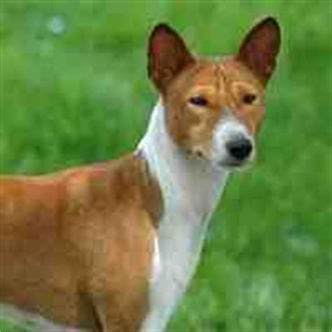 Medium Sized Dogs Don T Shed by Pics For Gt Medium Sized Hypoallergenic Breeds
