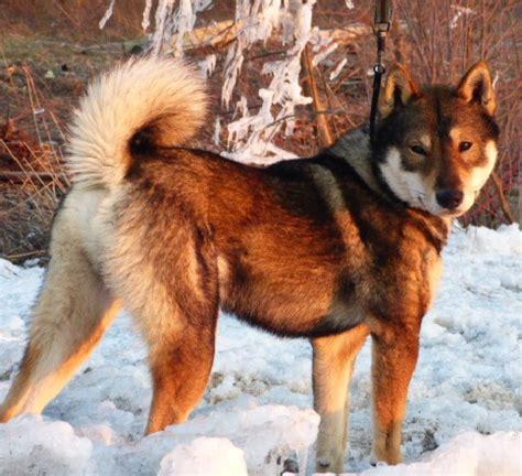 shikoku puppies shikoku ownership
