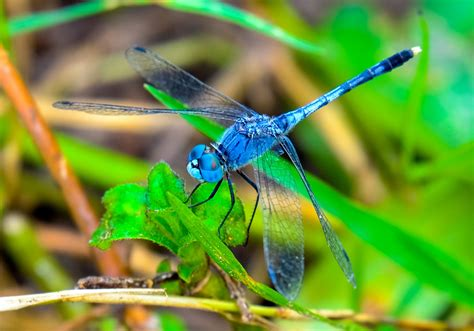 images of dragonflies predatory dragonflies can predict path of their flying