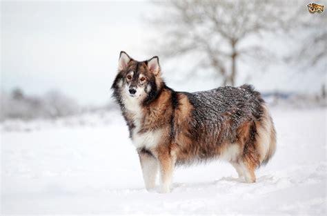 caring breeds utonagan breed information buying advice photos and facts pets4homes