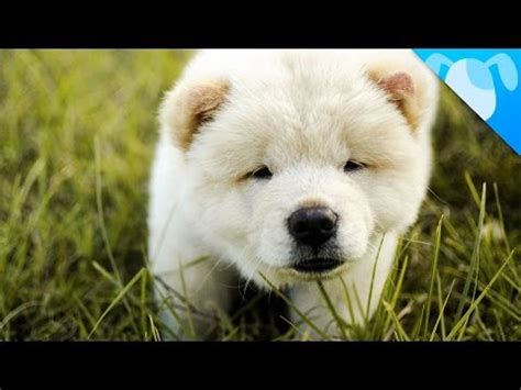 puppies for sale in fairbanks alaska chow chow puppies dogs for sale in anchorage alaska ak 19breeders fairbanks