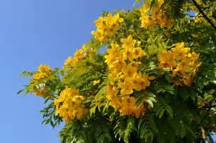 yellow flowering trees   bing images