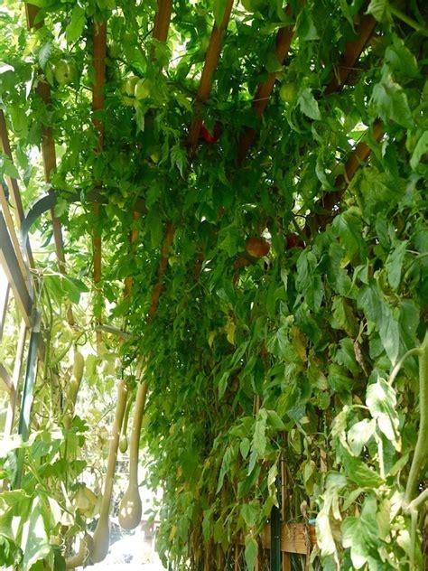 building  trellis  tomato plants
