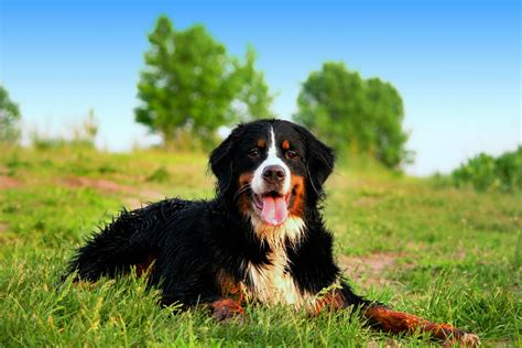 bernese mountain puppy bernese mountain breed information pet365