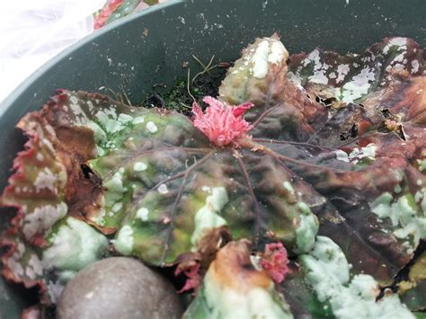 rex begonia propagation www imgkid com the image kid has it