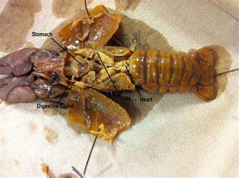 crayfish diagram crayfish dissection www pixshark images