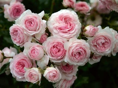 Larissa Flower Big 18 best images about jardin de on black roses roses garden and black magic