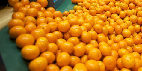 m fruit srl products mandarins morresi fruit