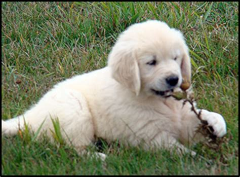 golden retriever breeders ontario golden retriever puppies ontario photo