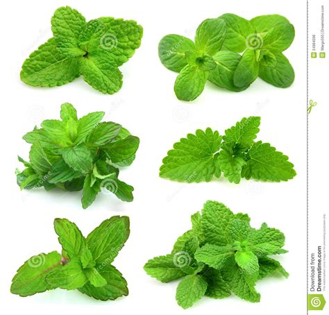 Fresh Mint Collection collection for fresh mint royalty free stock image image