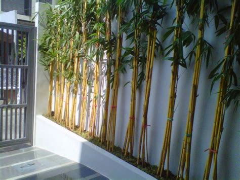 Lu Hias Tempel Dari Bambu 1 menanam dan budidaya bambu panda satu jam