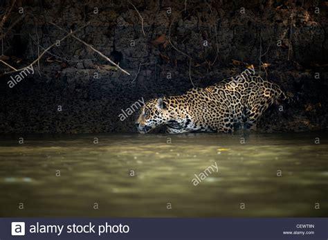 imagenes del jaguar panthera onca machos silvestres jaguar panthera onca palustris