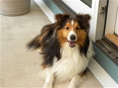 sheltie puppies for adoption adorable sheltie up for adoption i like dogs