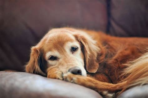 golden retriever separation anxiety 11 best images about end of photos on to