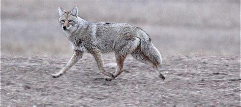 coyote hunting season  nj  bear hunt njtv news