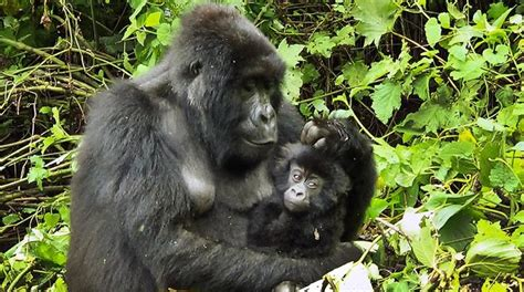 amazon rainforest animals gorilla congo oil company threatens gorilla forest rainforest