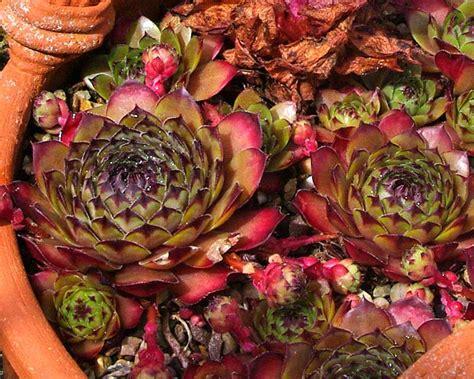 gardensonline sempervivum species and cultivars