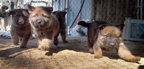 german shepherd puppies for sale in ma german shepherd puppies for sale plymouth middleboro mass