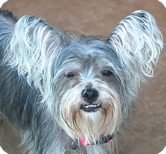 silky terrier and yorkie mix norwalk ct yorkie terrier silky terrier mix meet a for