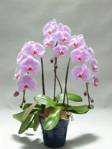 orchidee in casa orchidee in casa phalaenopsis orchidee