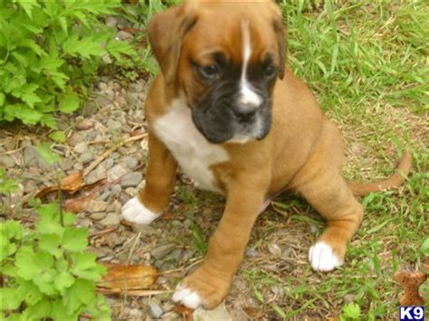 puppies for sale in owensboro ky boxer page 226 the universe of animals