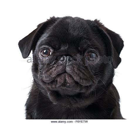 pug white background black pug white background stock photos black pug white background stock images alamy