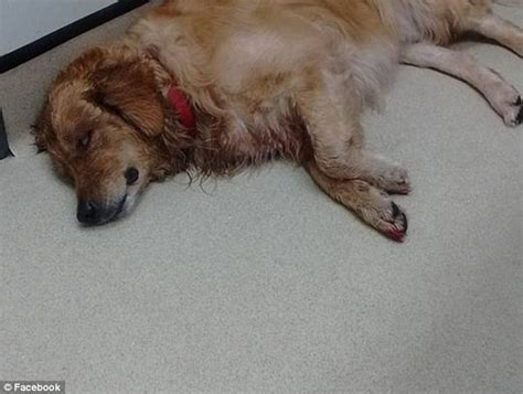 found golden retriever jetpets slammed after bulldog dies and golden retriever tears toenails in