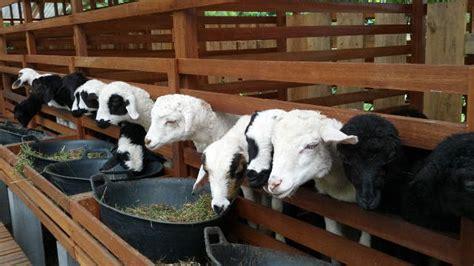 Budidaya Usaha Pengolahan Agribisnis Ternak Domba panduan dasar ternak domba dunia tani
