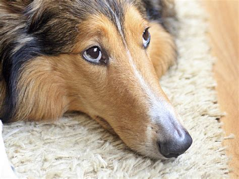 gastroenteritis in dogs canine gastroenteritis and stomach problems in dogs causing diarrhea