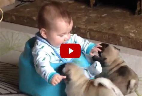 babies and puppies this of two pugs a baby is so stinking adorable you ll forget all your