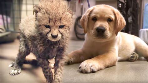 cheetahs love dogs animal friendship love nature