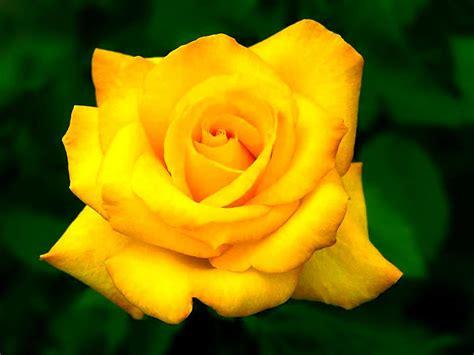 imagenes de flores mas bonitas rosas hermosas y mas youtube