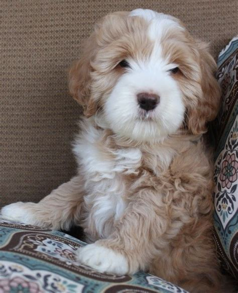 australian labradoodle puppies 25 best ideas about australian labradoodle puppies on labradoodle puppies