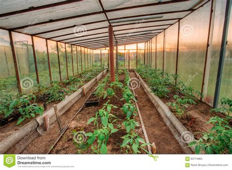 Vegetable Planter Raised Bed Green tomatoes vegetables growing in raised beds in vegetable garden stock image image 83774865