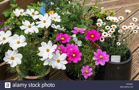 summer flowering plants in pots stock photo royalty free image 105468559 alamy