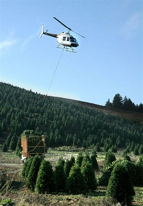 most northwest christmas trees take a short flight before