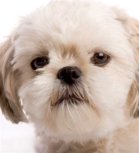 what were shih tzu bred for learn about the shih tzu breed from a trusted veterinarian