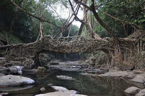 what is root bridge living root bridge cherapunji meghalaya ecoprint00
