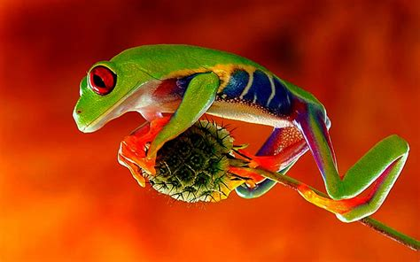 imagenes fondo de pantalla ranas fotos de animales 25 wallpapers de ranas y sapos