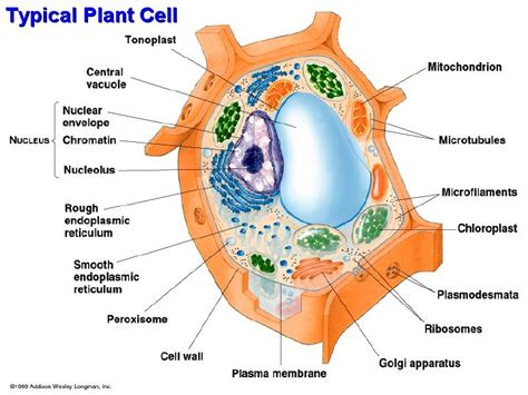 diagram of typical plant cell typical animal cell diagram 28 images structure of