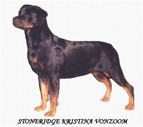 rottweiler standard pin rottweiler standard submited images pic 2 fly on