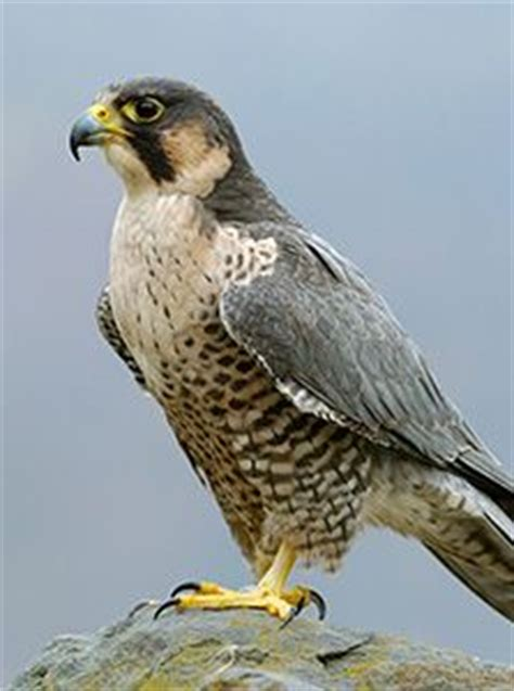 40 best images about falcons nest on pinterest atlanta falcons football wall and blog 1000 images about alcon on pinterest peregrine falcon