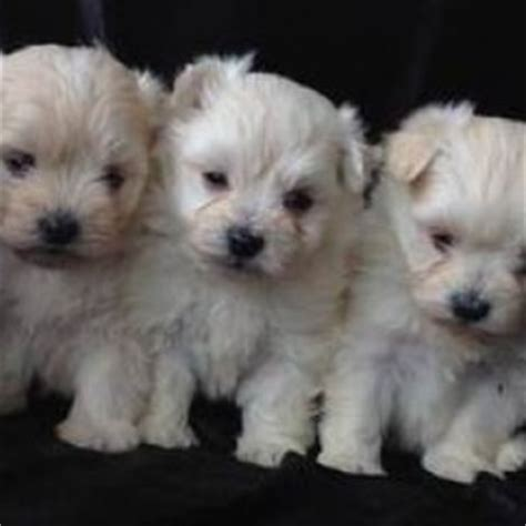 maltipom breed information and facts