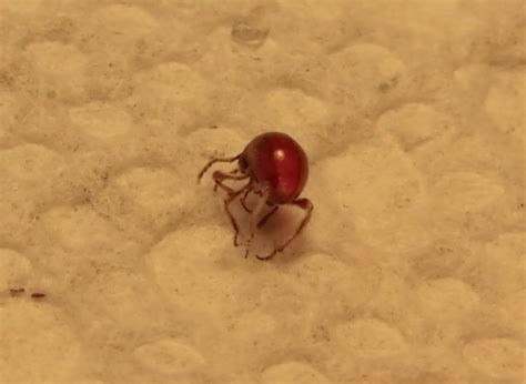 Bed Bug Nymphs by Bed Bug Nymph Id 171 Got Bed Bugs Bedbugger Forums